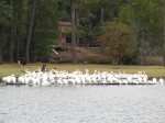Image from our last trip to the same campground approximately 18 months ago. This is the local colony of pelicans that live and nest on the lake. There's also alligators (not pictured).