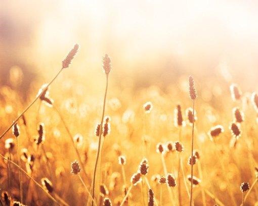 Yellow Wheat